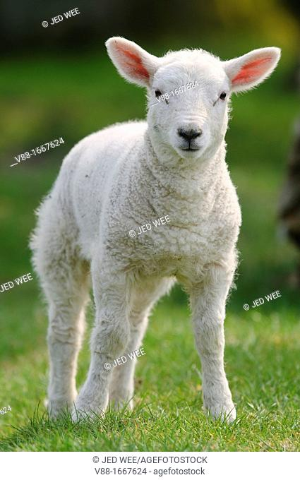 A young lamb, domestic sheep, Ovis aries in a field in North Yorkshire, England