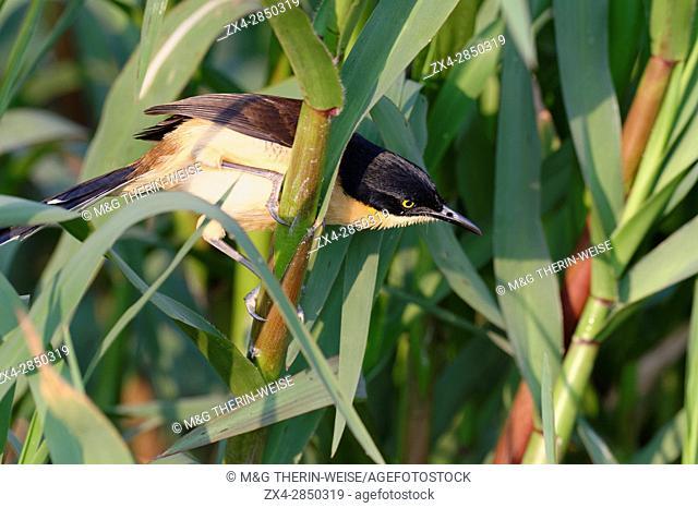 Black-capped Donacobius (Donacobius atricapilla) in vegetation, Pantanal, Mato Grosso State, Brazil