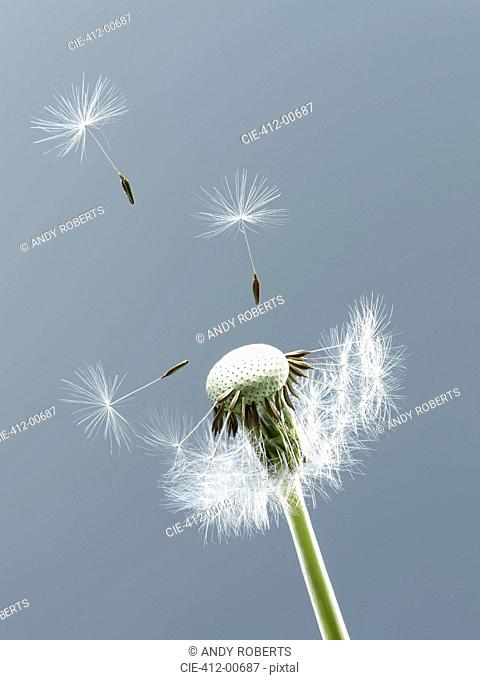 Close up of seeds blowing from dandelion on blue background