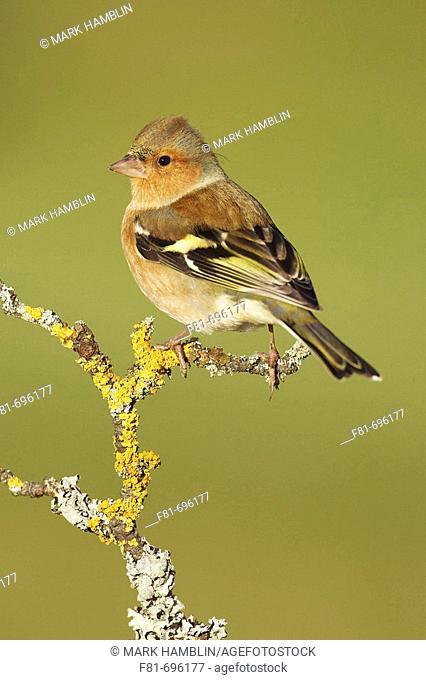 Chaffinch - Fringilla coelebs - male perched winter plumage  Scotland  December 2006