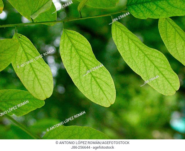 Black Locust (Robinia pseudoacacia) compound leaf