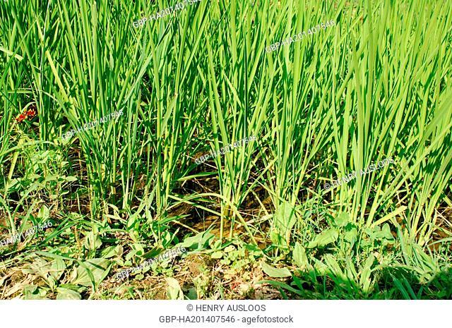 France - Camargue - Gard (30) - Rice production (Oryza sativa)