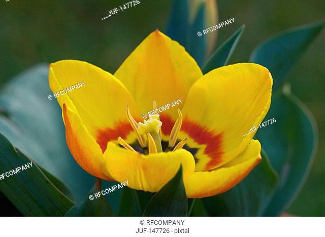 tulip - blossom