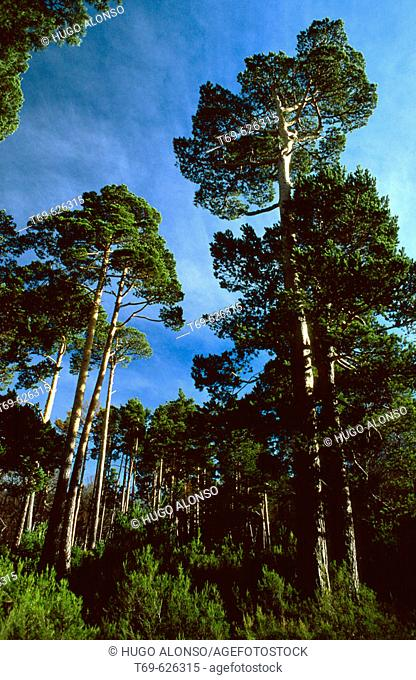 Forest, Sierra Cebollera Natural Park. La Rioja, Spain
