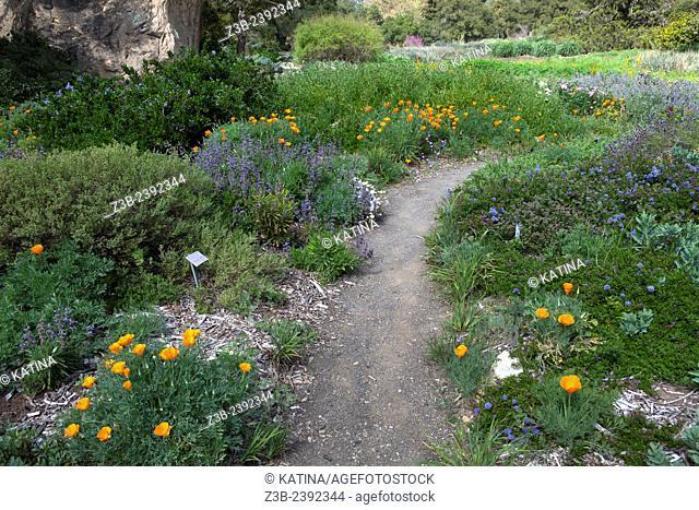 Path through brightly colored Eschscholzia Californica, California poppies (common name) in the Santa Barbara Botanic Garden; Santa Barbara; Santa Barbara...