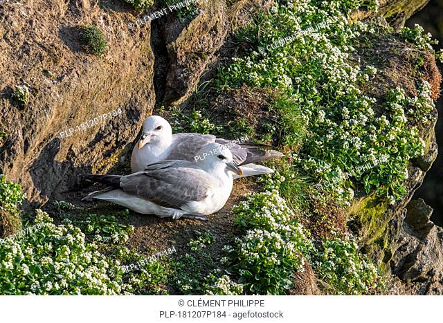 Northern fulmars / Arctic fulmar pair (Fulmarus glacialis) nesting on rock ledge in cliff at seabird colony at Hermaness, Unst, Shetland, Scotland, UK