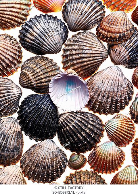 Cockle shells