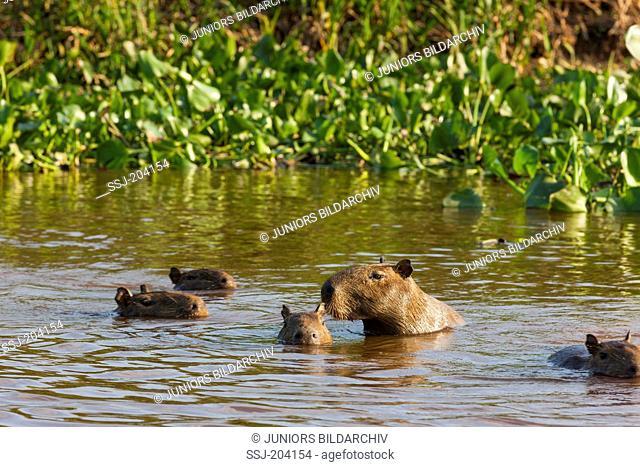 Capybara (Hydrochoerus hydrochaeris). Family swimming. Pantanal, Brazil