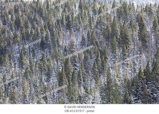 Aerial view of snowy trees on mountainside