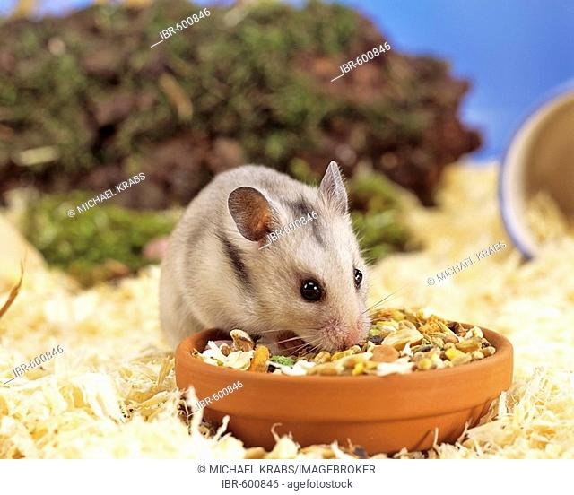 ae02894618f Winter white russian dwarf hamster Stock Photos and Images
