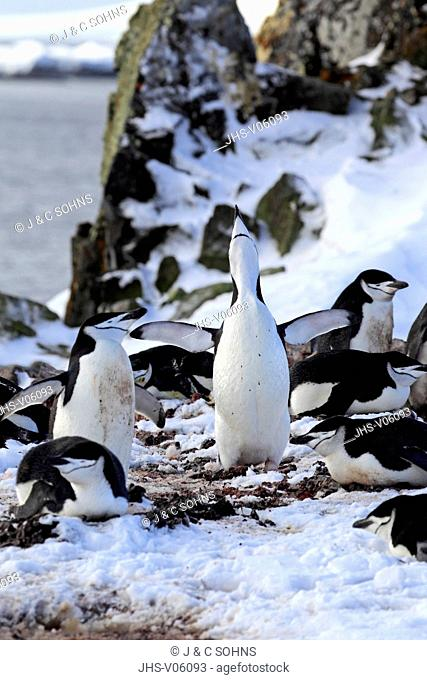 Chinstrap Penguin, (Pygoscelis antarctica), Antarctica, Brown Bluff, adult at breeding colony