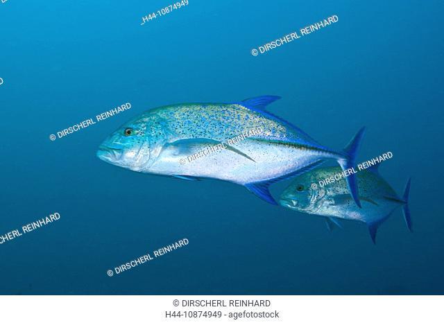 Blauflossen-Stachelmakrelen, Caranx melampygus, Fishhead, Nord Ari Atoll, Malediven, Bluefin Trevally, Caranx melampygus, Fishhead, North Ari Atoll, Maldives