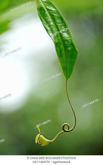 Nepenthes pitcher plant. Semengoh Wildlife Centre, Kuching, Sarawak, Malaysia
