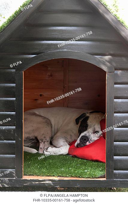 Domestic Dog, Old Tyme Bulldog, resting in kennel, England, august