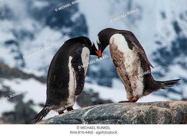 Adelie penguins (Pygoscelis adeliae), Port Lockroy research station, Antarctica, Polar Regions