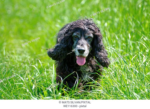Cocker spaniel dog walking on the green grass