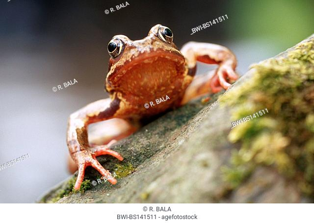 common frog, grass frog (Rana temporaria), sitting on a stone, Germany