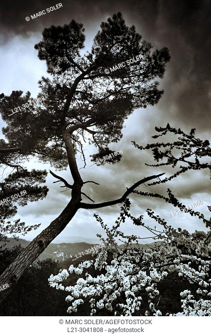 Tree under stormy sky. Catalonia, Spain