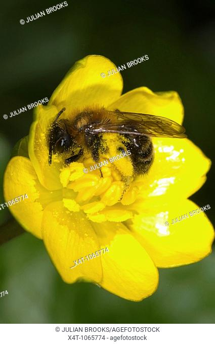 Small Andrena bee poss  Andrena humilis collecting pollen from a lesser celandine Ranunculus flower