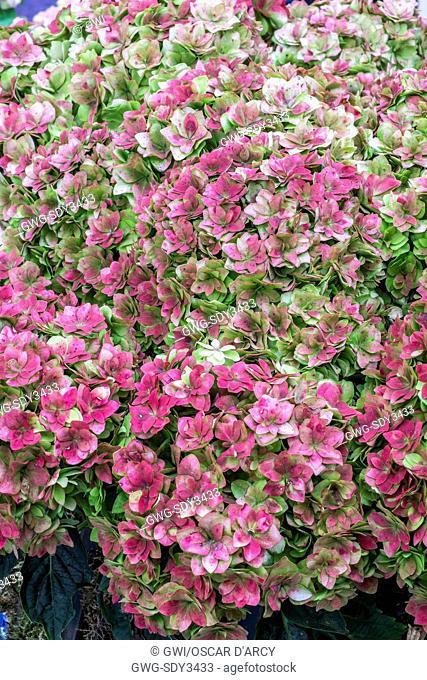 HYDRANGEA 'DOUBLE FLOWER SENSATION' RED
