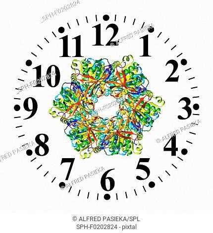 Circadian clock molecule, illustration