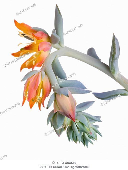 Blooming Succulent with Orange Flowers against White Background