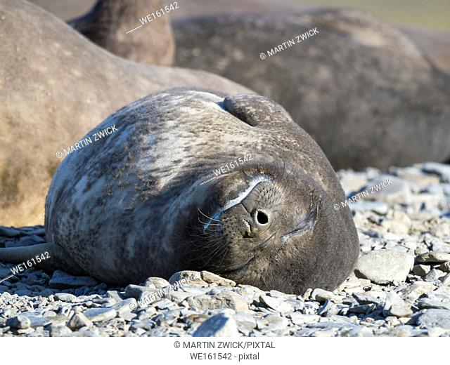 Southern elephant seal (Mirounga leonina), pup on beach. Antarctica, Subantarctica, South Georgia, October