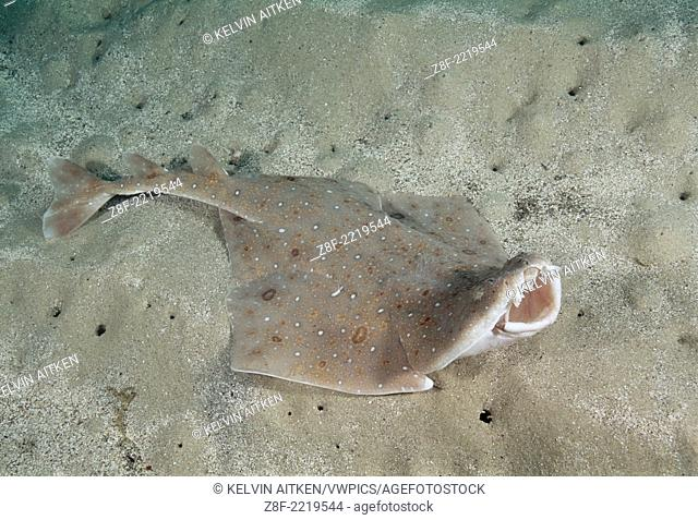 Eastern Angel Shark (Squatina albipunctata) in feeding and threat posture. Worlds first underwater photographs of this species. Australia Jervis Bay
