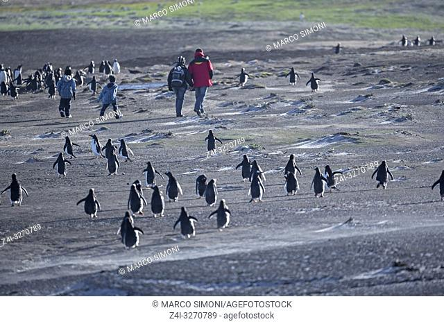 Gentoo Penguins (Pygocelis papua papua) and family walking, Sea Lion Island, Falkland Islands, South Atlantic, South America