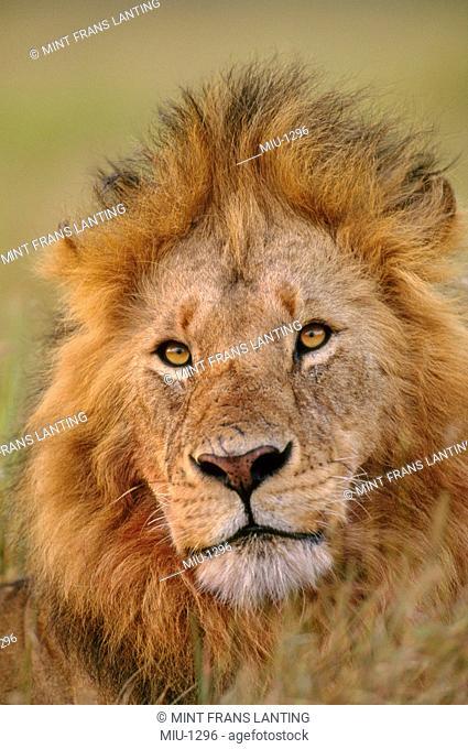 Lion, Panthera leo, Masai Mara Reserve, Kenya