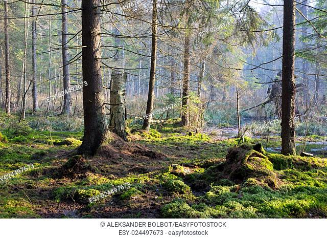 Sunbeam entering swampy coniferous forest misty morning with old spruce and pine trees,Bialowieza Forest,Poland,Europe