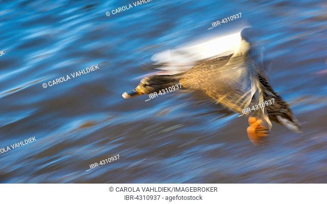 Mallard (Anas platyrhynchos) in flight, Bergpark Wilhelmshöhe, Kassel, Hesse, Germany