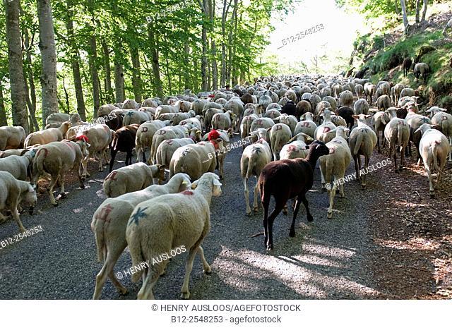 France, Cevennes, Esperou, Transhumance, Sheep (Ovis aries)