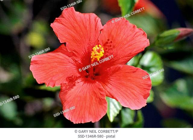 Close-up of a hibiscus