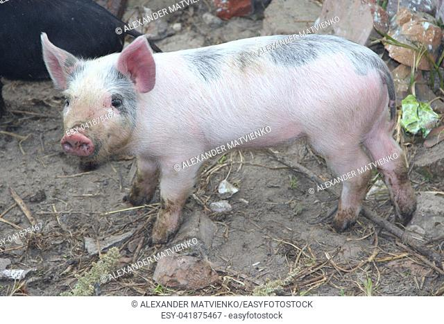 Piglets playing and jolly run in farm yard. Funny pigs. Baby piglets play in yard. Little pigs live at farm in village