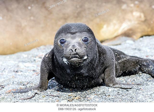 United Kingdom, South Georgia Islands, Prion island, Southern Elephant Seal Mirounga leonina, new born baby
