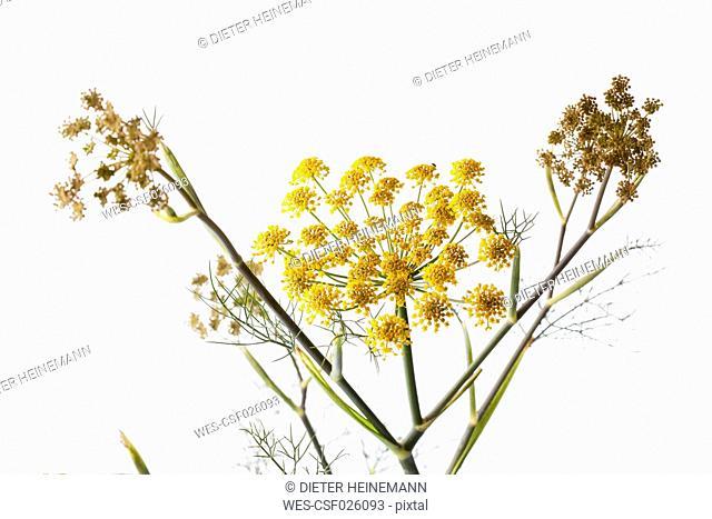 Sweet fennel on white ground