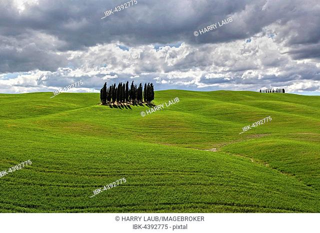 Group of Cypresses in cornfield, San Quirico d'Orcia, Val d'Orcia, Tuscany, Italy