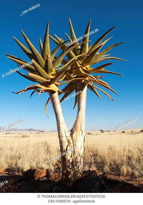 Quiver Tree Aloe dichotoma - Formerly the hollowed out branches of these trees were used as quivers by the Bushmen  Planted young tree at a lodge at the edge of...