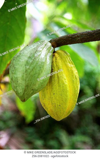 Ripening cocoa pods, East New Britain, Papua New Guinea