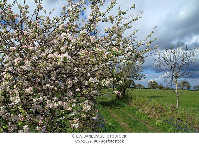 Crab Apple Malius sylvestris blossom in Norfolk farmland