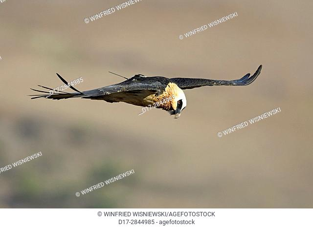 Adult bearded vulture with radio trnsmitter in flight (Gypaetus barbatus), Giant's Castle National Park