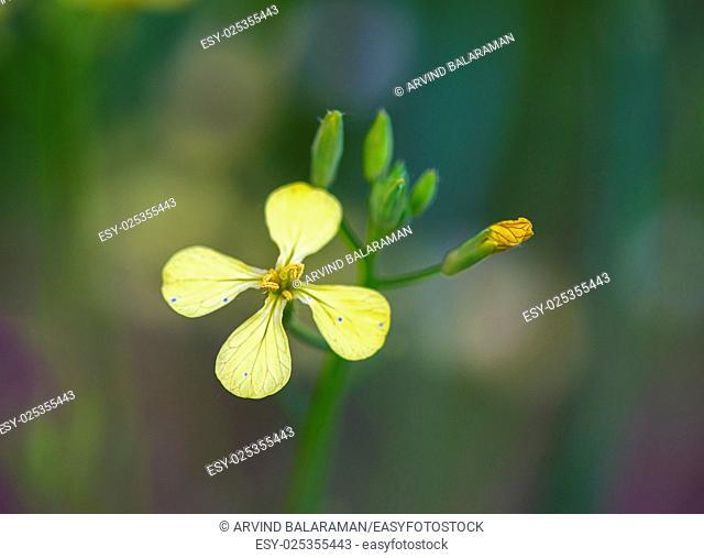 Closeup photo of a field mustard wild flower