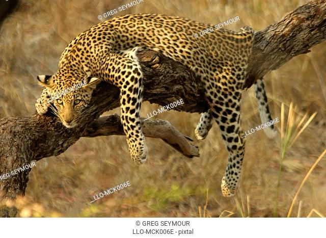 Young Leopard Panthera pardus Sprawled Over a Branch Resting  Kruger National Park, Limpopo Province, South Africa