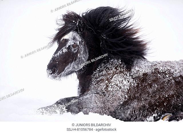 Bardigiano, Bardi Horse. Black gelding rolling in snow. Germany
