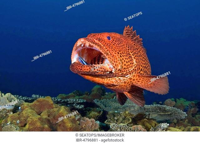 Bluestreak cleaner wrasse (Labroides dimidiatus) in the open mouth of a tiger grouper (Mycteroperca tigris), Sodwana Bay, South Africa