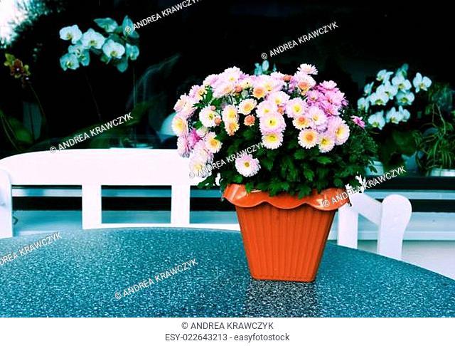 Chrysantheme auf dem Tisch