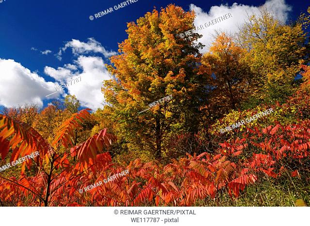 Red Sumac and orange colors of Fall leaves on Maple trees with blue sky and white clouds