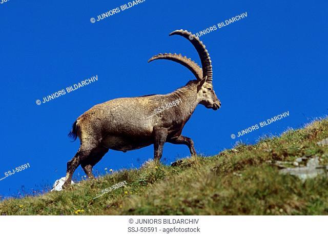 Capra ibex / alpine ibex