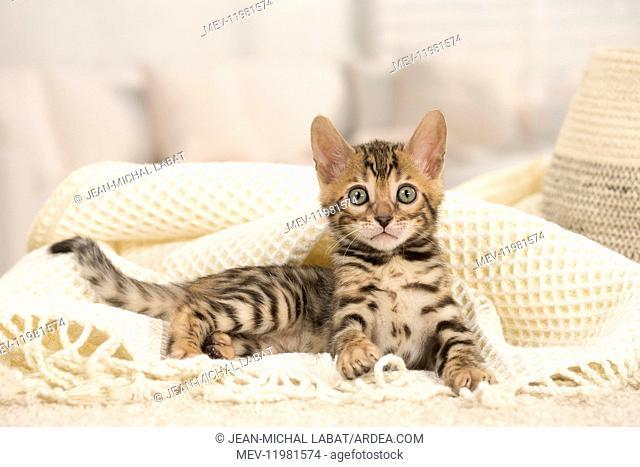 Cat - Bengal kitten indoors